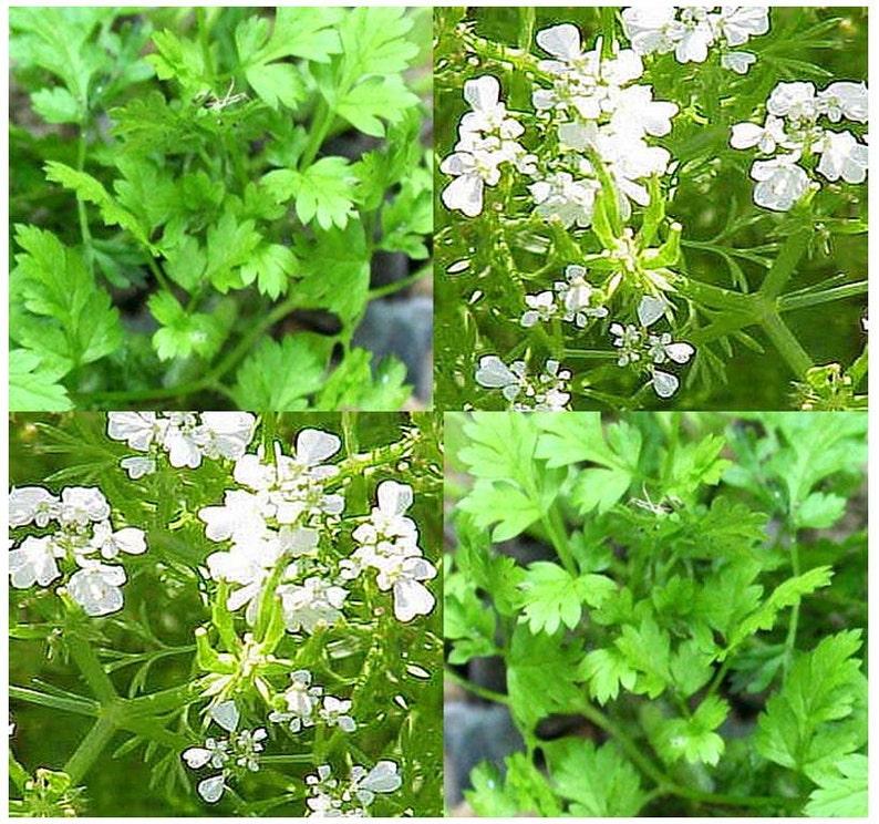 Parsley Italian Dark Green Great Garden Herb 3,000 Seeds
