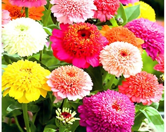 100 or 5,000  x Scabiosa Zinnia Flowered Mix - Zinnia Flower Seeds - Cultivated In Southern Italy For It's Outstanding Colors