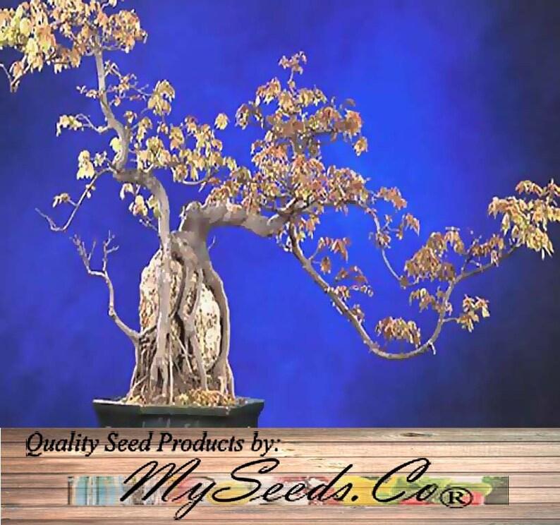 Trident Maple árbol Semilla Acer Buergerianum Semillas Etsy
