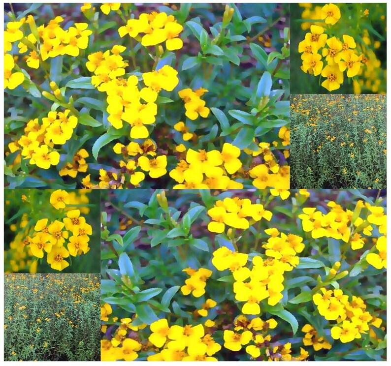 Heirloom Mexican Mint Marigold Seeds Texas tarragon Tagetes lucida