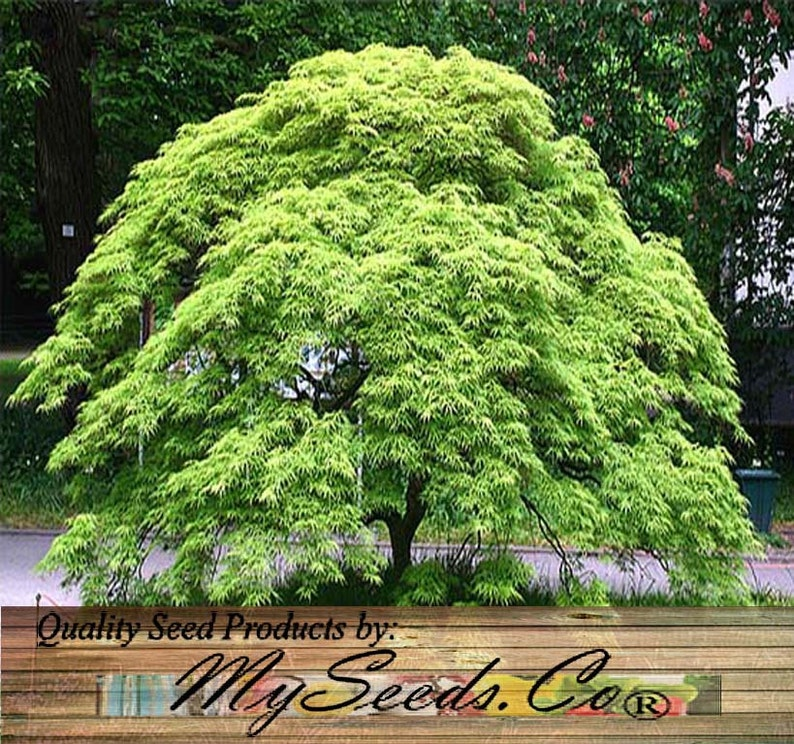 10 Or 100 X Green Lace Leaf Japanese Maple Acer Palmatum Etsy