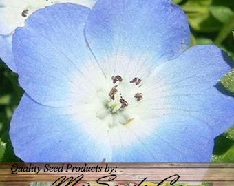 Baby Blue Eyes Flower Seeds ~ Nemophila menziesii - native to both California and Oregon , Choose From 1,000 or 16,000 x