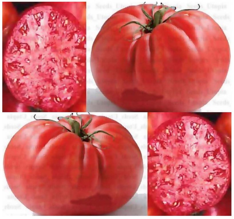 15 X Mortgage Lifter Heirloom Tomato Seeds Huge Fruits Etsy