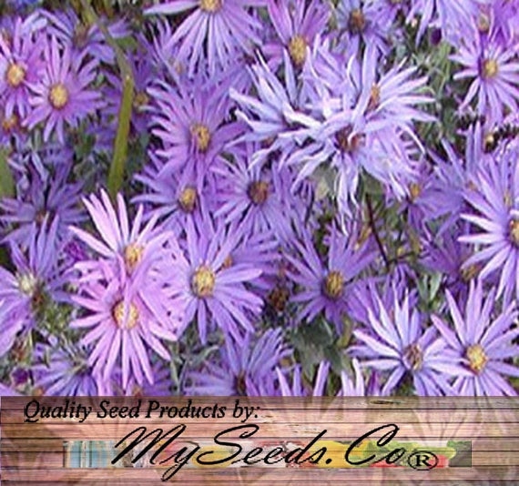 Soyeux Aster Rocaille Western Argent Aster Aster Sericeus Etsy