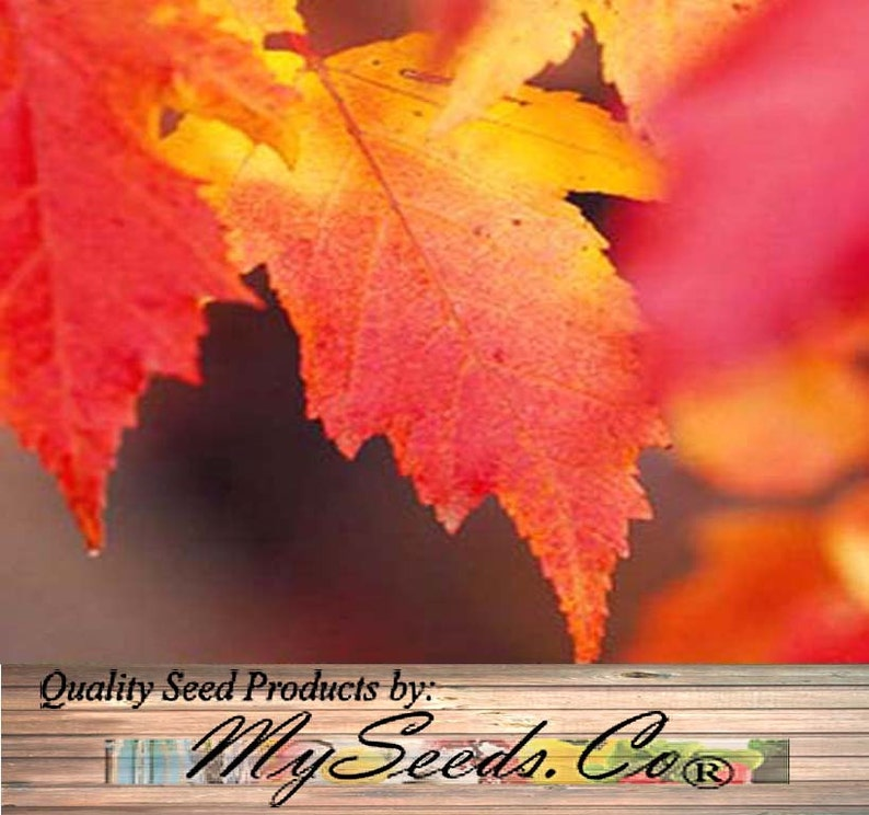 50 X Amur Flame Maple Tree Seed Acer Tataricum Ginnala Etsy
