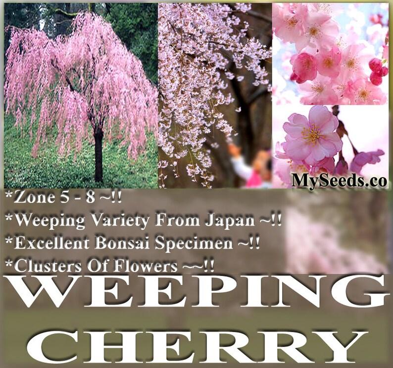 5 Or 50 X Japanese Weeping Cherry Tree Seed Prunus Etsy