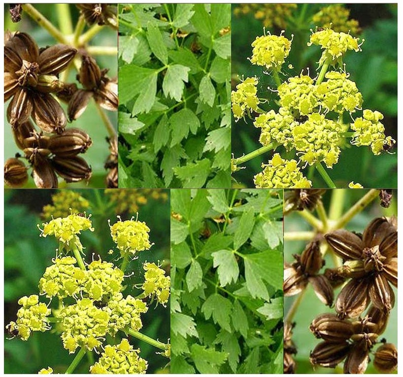 Mountain Celery Seed Lovage Herb Seeds Levisticum Etsy