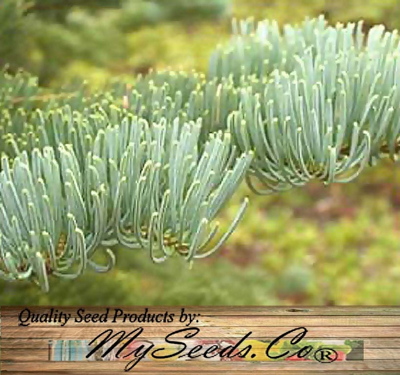 Red Fir California Red Fir Tree Seeds Abies Magnifica Etsy