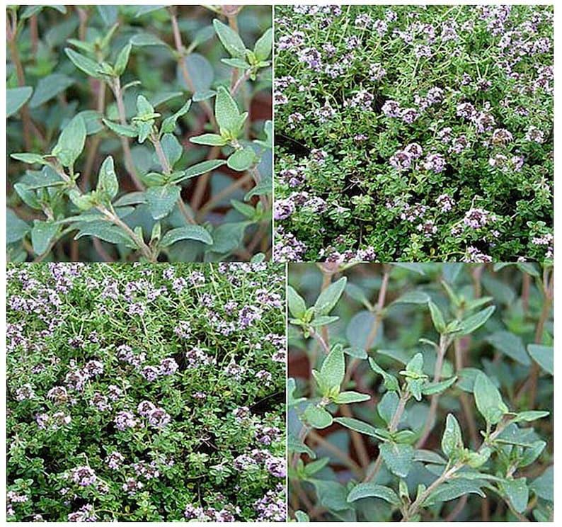 Origanum majorana 2,000 Combined S/&H Sweet Marjoram Herb Seeds