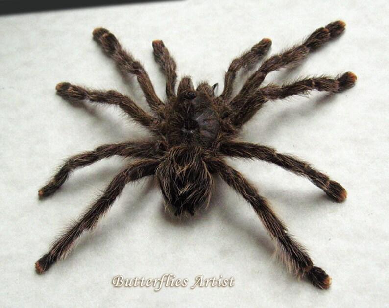 Hairy Spider Real Tarantula Avicularia Huriana Entomology Collectible In Shadowbox