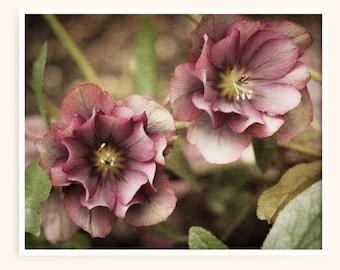 Pink Hellebore Flower Photo, Nature photography wall art, Mauve floral art print, Bathroom art print for farmhouse decor, Flower photography