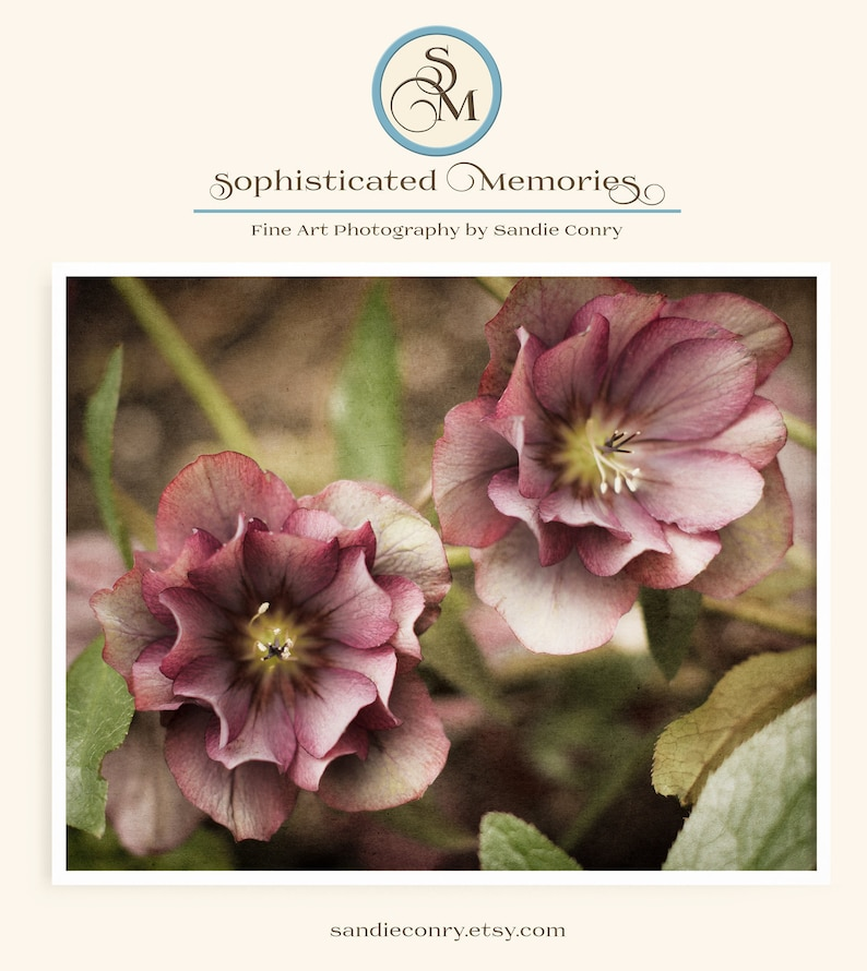 Pink Hellebore Flower Photo Nature photography wall art image 0
