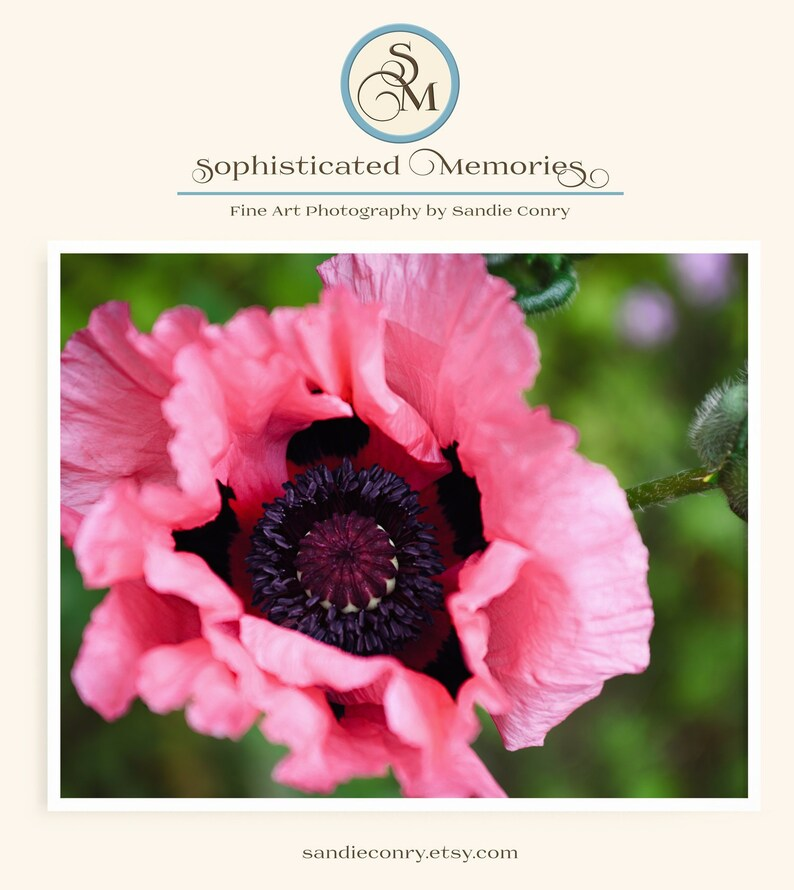 Oriental Poppy Floral Photography  Fine Art Photo  Pink image 0