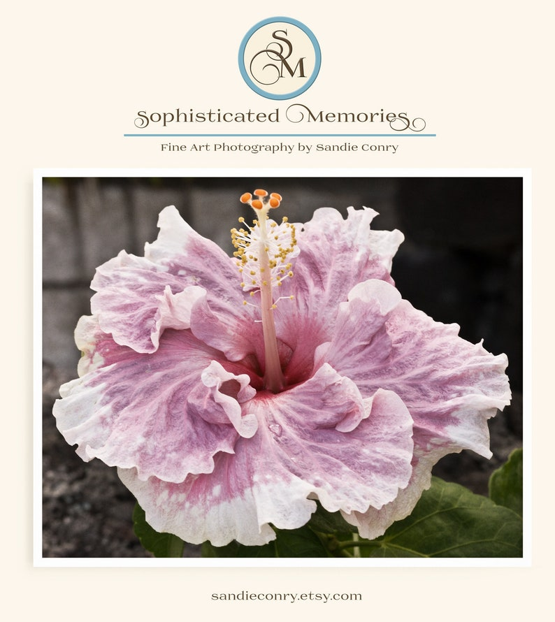 Pink Hibiscus Art Print  Nature Photography  Pink Flower image 0
