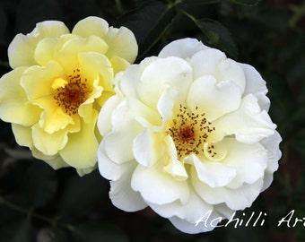 White and Yellow Flowers- Elizabeth Park- Original Photograph