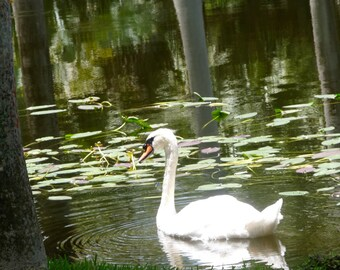Swan in Nature- Photograph