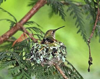 Hummingbird Art, Hummingbird Print, Humming Bird, Bird Nest Print, Gift for Mother, Bird Print, Bird Photography, Bird Nest Art, Motherhood