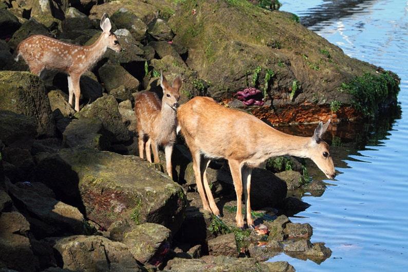 Deer Photo Deer Fawn Ocean Print Nature Prints Baby Animal image 0
