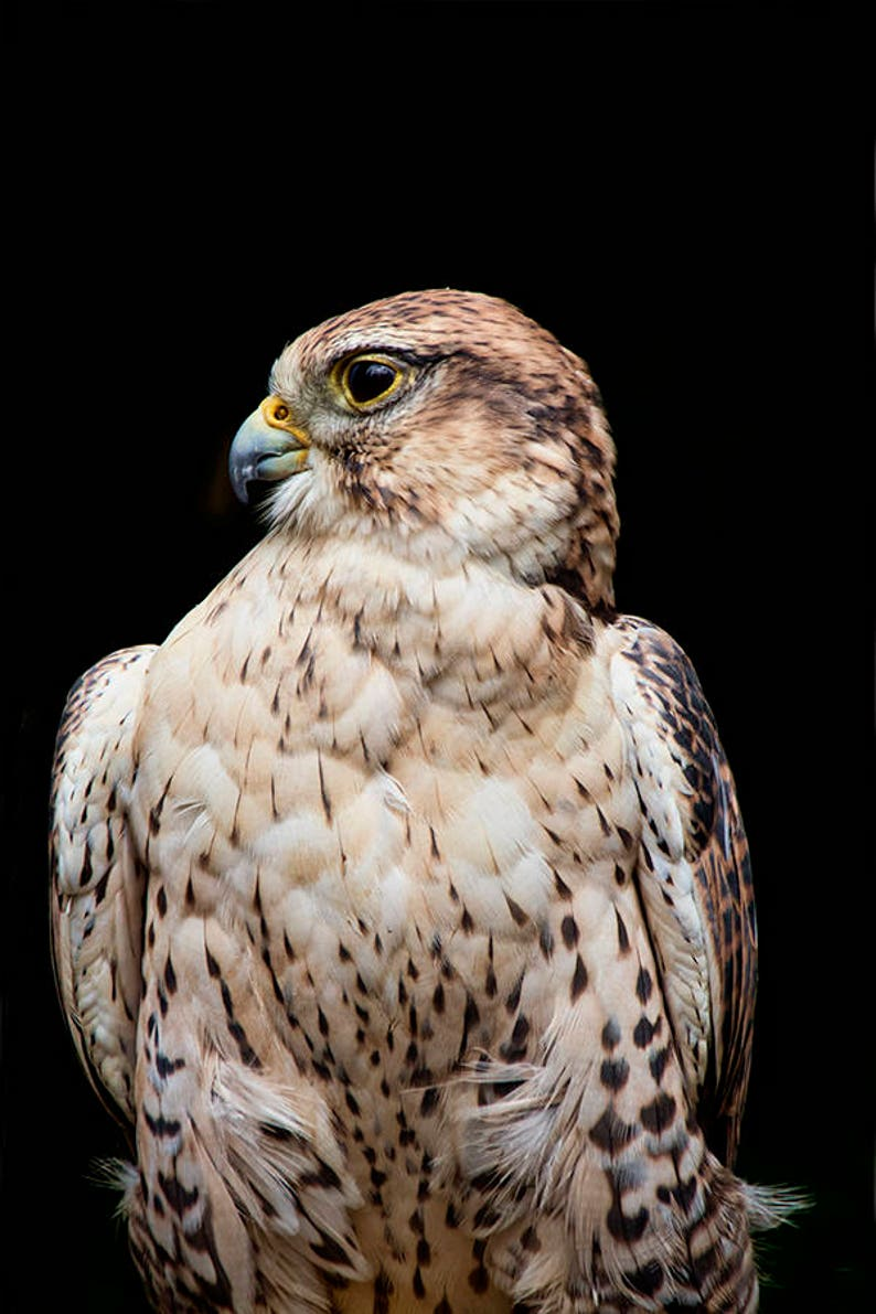 Hawk Art Ferruginous Hawk Hawk Print Bird of Prey Raptors image 0
