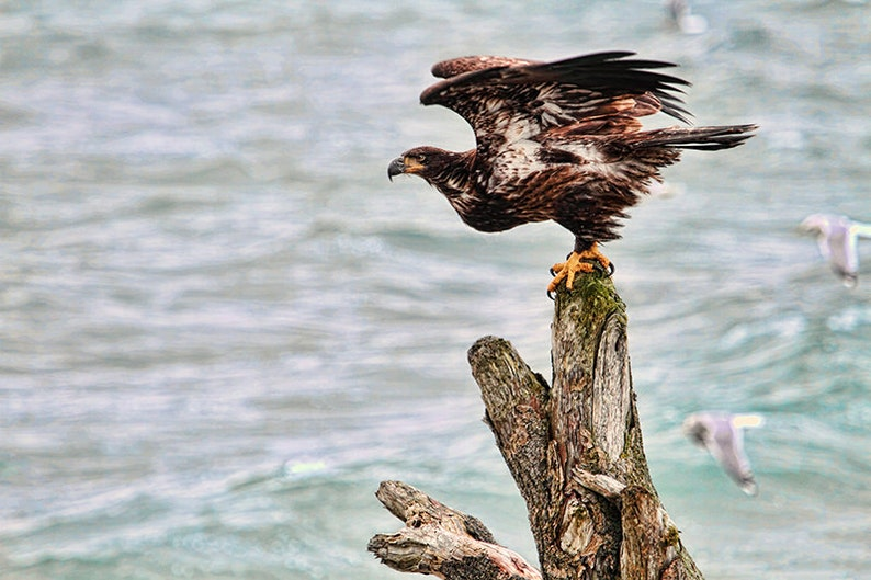 American Eagle Bald Eagle Nature Photography Ocean Art image 0