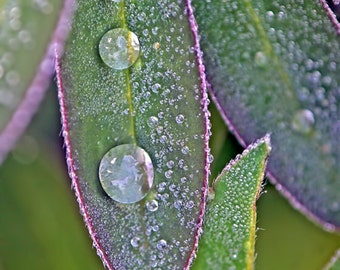 Leaf Art, Macro Photography, Rain Drops, Raindrops, Water Drop, Green and Purple Art, Vertical Wall Art, Lupin,Leaf Photo,Leaves Photography