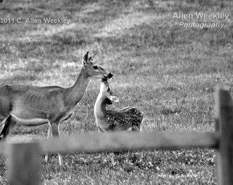 Doe And Fawn Framed Photo Limited Edition Deer Fine Art Black and White
