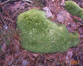 fresh live cushion ( Leucobryum ) moss  Fairy gardens, terrariuims, weddings, gardens