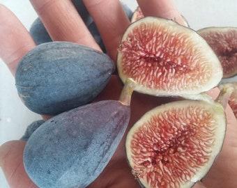 3 Fresh Cuttings Purple Patlican Fig Tree Ficus carica