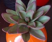 Sugar Suculent Plant Rust...