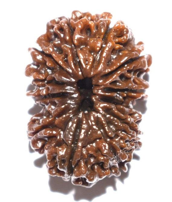 Energized and Certified 12 Mukhi Rudraksha seed bead Twelve Face Rudraksh Nepal Rudraksha Jewelry Yoga Gifts Hindu Rudraksha Bead necklace