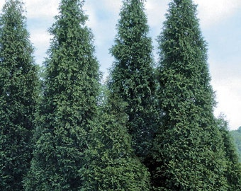 "10 Green Giant Arborvitae Plants(Thuja Green Giant) 3"" containers"