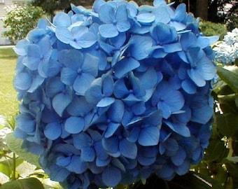 "2 Nikko Blue Hydrangea Plants(Macrophylla 'Nikko Blue 3"" container!"