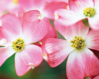 2 Pink Dogwood Trees(Cornus Florida Ruba)