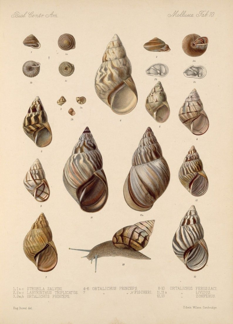 Insect Posters Digital Downloads Shells Vintage Wall hangings Collection of 36 Pictures of Shells