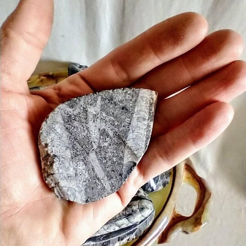 Set of Two 2 Genuine Orthoceras Fossils