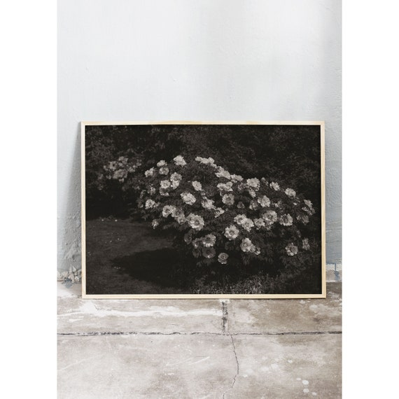 Black and white digital downloadable photo of a peony bush flowering with white flowers in the botanical garden in Copenhagen.