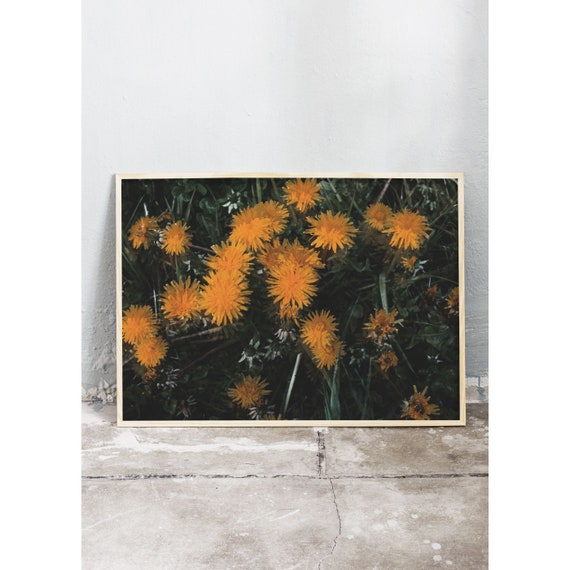 Photography art print of dandelions. The yellow dandelions growing wildly in the spring. Photo is printed on a matte, high quality paper.