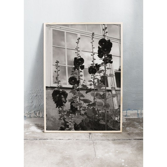 Black and white digital downloadable photo of hollyhocks infront of an old green house.