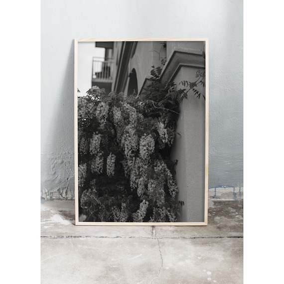 Black and white digital downloadable photo of Wisteria on a building in Copenhagen, Denmark.