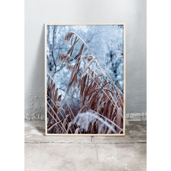 Photography art print of frosty common reed. Print is printed on a high quality, matte paper.