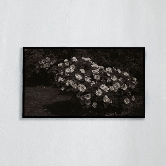 Frame TV Art, Digital downloadable art photography, Black and white photography of flowering peony, Art for digital TV