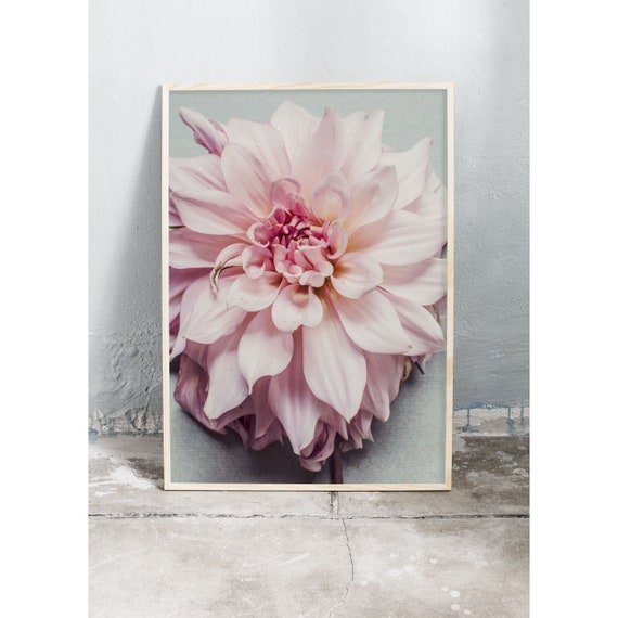 Art photography print of a close up of a pink dahlia. Print is printed on a high quality, matte paper.