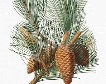 Pine Branch Clipart 'Maritime Pine' Botanical Printable Illustration for Crafts, Wall Art, Collages, Transfers, Scrapbooking...