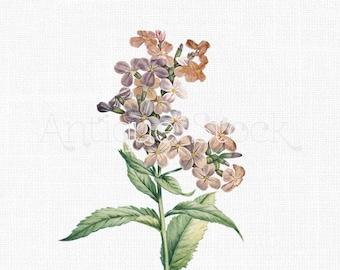 Flower Clipart 'Damask Violet' Vintage Botanical Illustration Digital Image for Craft, Wall Art, Collages, Transfers, Scrapbook, Invites...