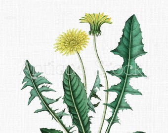 Flowers Clipart 'Dandelion' Botanical Art Digital Download for Wall Art Prints, Wedding Invitations, Collages, Crafts...