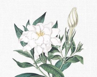 flower old image red camellia botanical illustration etsy