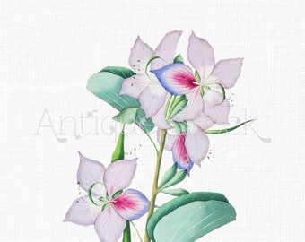 Flower Clipart 'Pink and Lilac Bauhinia' Vintage Digital Download Image for Craft Projects, Wall Art, Collages, Transfers, Invitations...