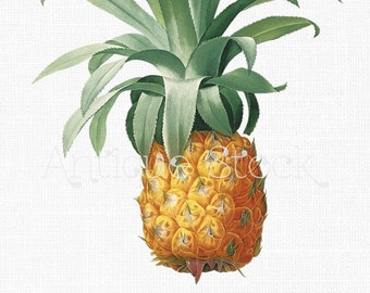 Clipart 'Pineapple Fruit' Vintage Digital Download Image for Craft Projects, Wall Art, Collages, Transfers, Scrapbooking, Invites...