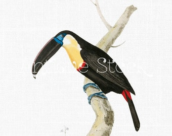 Bird Clipart ' Channel-billed Toucan' Vintage Digital Image for Crafts, Wall Art, Collages, Fabric Printing, Scrapbooking, Invites...