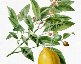 lemon tree etsy